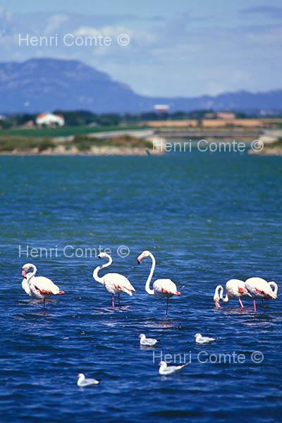 photos flamant rose phototh que languedoc roussillon. Black Bedroom Furniture Sets. Home Design Ideas